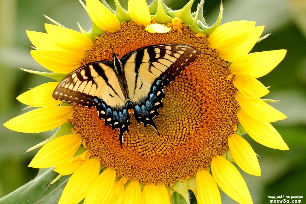 جديد خلفيات الفراشات 2013