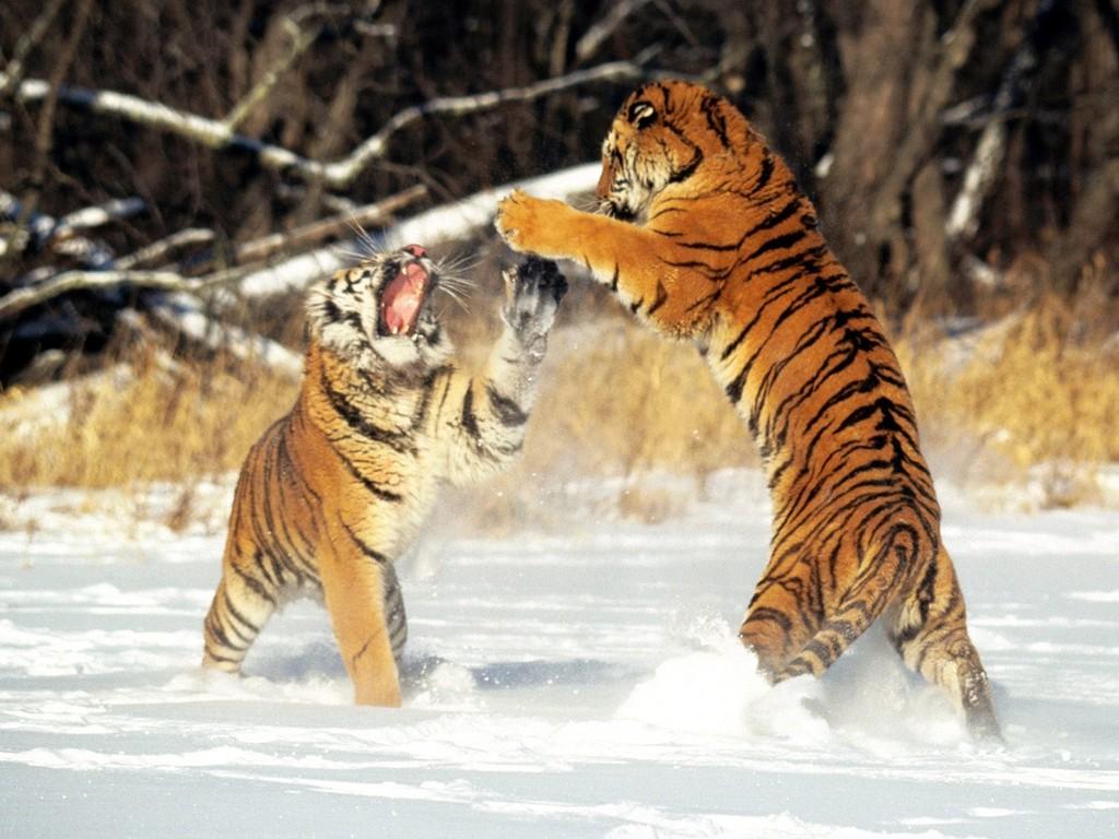 شاهدوا معنا اجمل صور النمور لعام 2015
