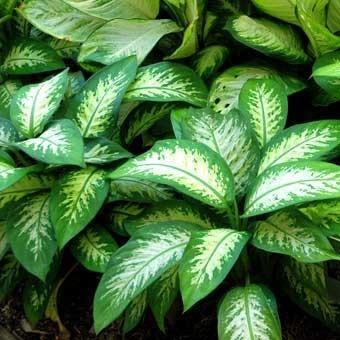 نبات الدفنباخيا Dieffenbachia